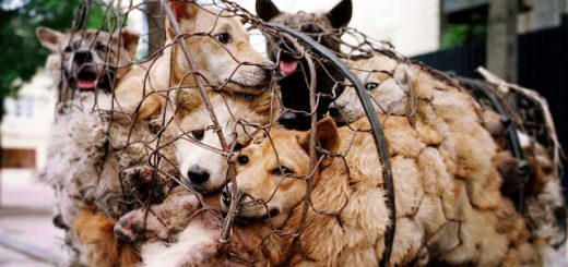 1000-yulin-dogs-in-cages